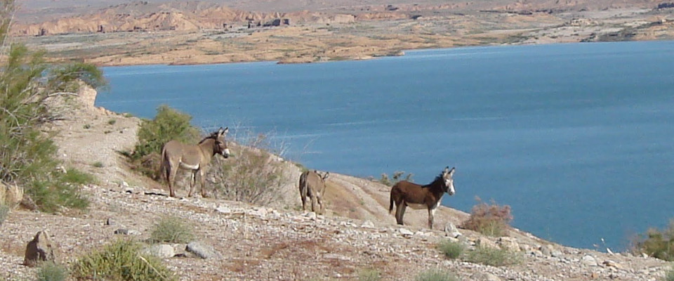 Lake Mohave Wildlife